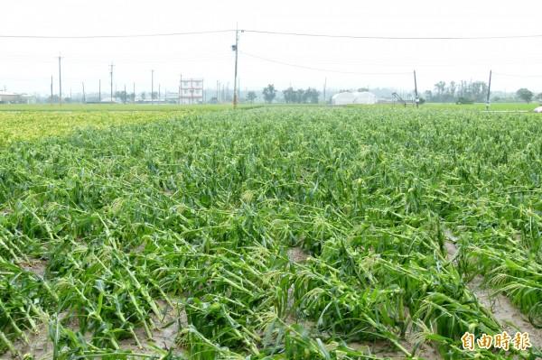 不堪強風摧殘,食用玉米倒伏嚴重。(記者蔡宗勳攝)