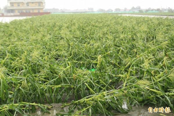 截至今天下午5點,農委會統計梅姬颱風造成全台農業損失統計高達10億2893萬元。(記者詹士弘攝)