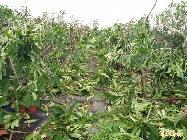 梅姬颱風過境,田尾一處雞蛋花園區,如被炸彈摧毀。(記者陳冠備攝)