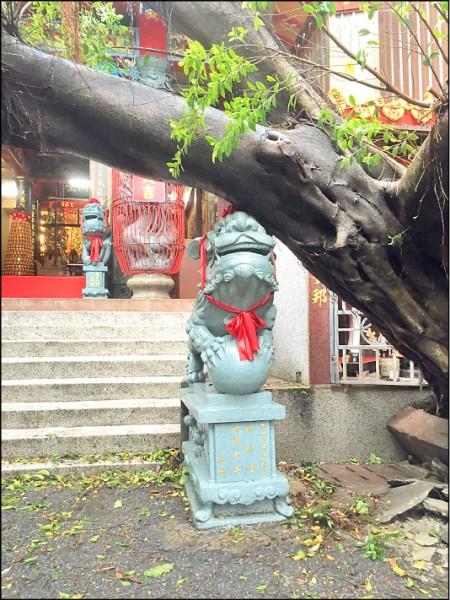 百年榕樹樹幹呈四十五度壓在廟埕的石獅,乍看之下就像是石獅頂住了大樹,一旁民旁才未受波及。(記者丁偉杰翻攝)