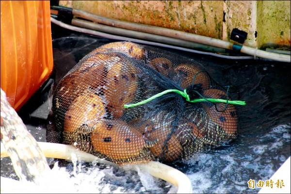 已很少見的椰子渦螺。(記者吳政峰攝)