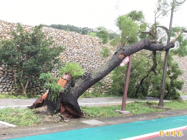 胖颱梅姬發威,台中市光倒塌樹枝,就運載了1165噸。(記者黃鐘山攝)