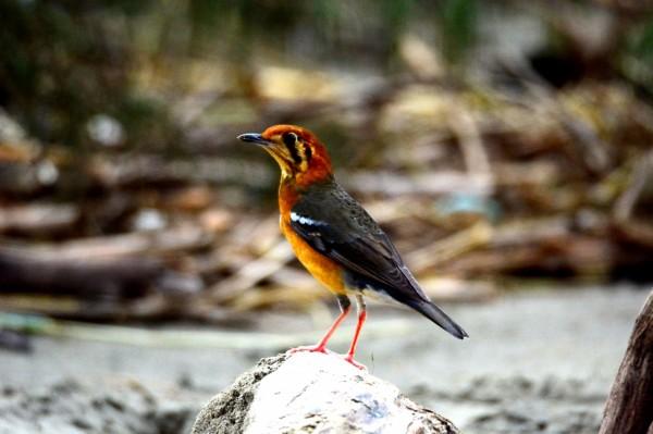 七股防風林出現橙頭地鶇,大批鳥友爭拍風采。(記者劉婉君翻攝)