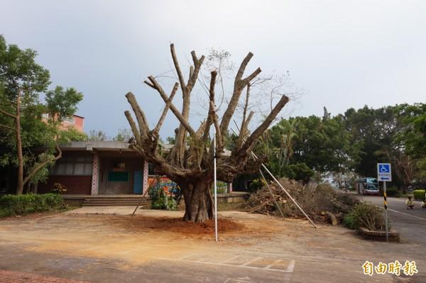 協同中學50年老榕樹被颱風吹倒,現已修剪扶正。(記者曾迺強攝)