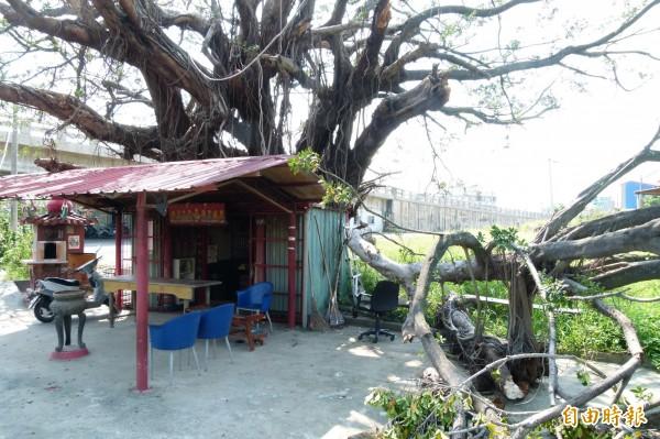 古廟巨榕的枝幹遭颱風折斷。(記者蔡宗勳攝)