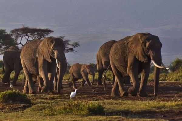 坦尚尼亞的保育人士運用一種非傳統的方式,使大象避開人類居住處。(美聯社)