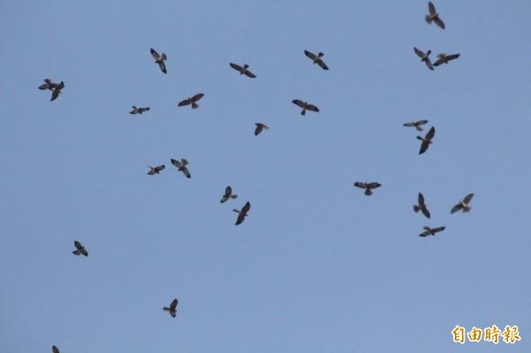 鷹群南下了。(記者蔡宗憲攝)