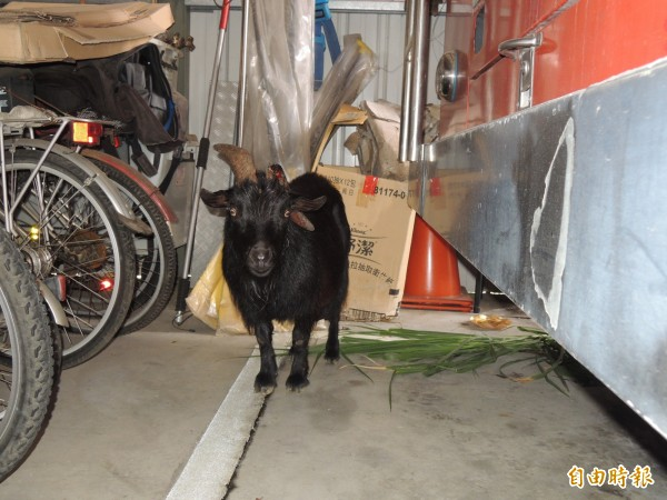 今早有隻斷角流血的黑毛公羊,自行來到竹崎消防分隊「求援」,隊員提供牧草、清水給牠;分隊希望飼主出面認領並予治傷。(記者陳璟民攝)