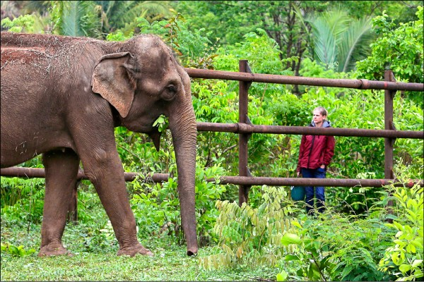 拉丁美洲首座大象收容所近日在巴西正式成立,園區內可提供五十隻大象的生存空間,希望從馬戲團退役的大象能夠享有不受拘束的晚年。圖為已經遷入的兩隻亞洲象之一吉達。(美聯社)