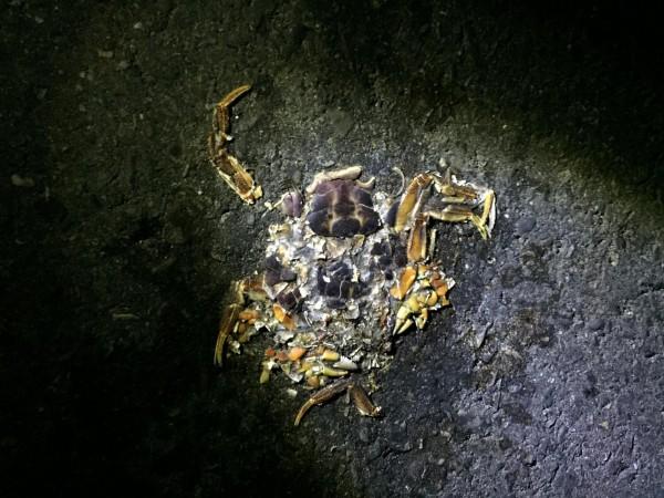 香蕉灣「蟹餅」多,讓陸蟹的生存出現危機。(記者蔡宗憲翻攝)