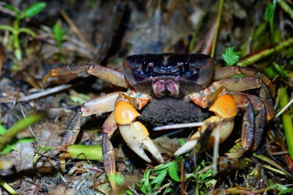 母蟹抱卵過馬路下海繁衍下一代。(楊政峰提供,記者蔡宗憲翻攝)