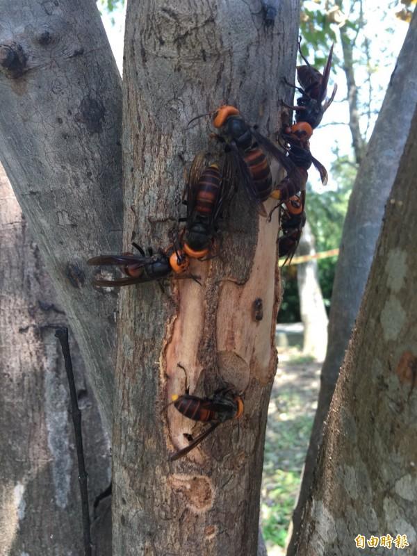 近日地方縣市政府為了捕蜂的任務屬消防或農業單位引發爭論。學者感嘆,「蜜蜂不是洪水猛獸」,為什麼人們看到蜜蜂就只想要消滅?。(資料照,記者李容萍攝)