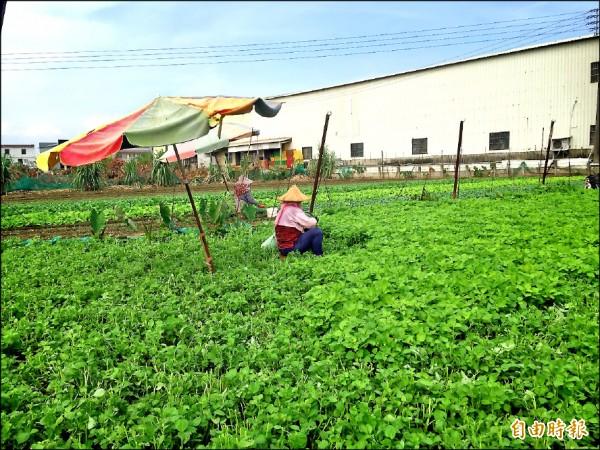 高雄蔬菜產量僅恢復二成。(記者陳文嬋攝)