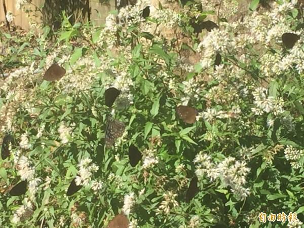 紫斑蝶群聚初鹿牧場。(記者張存薇攝)
