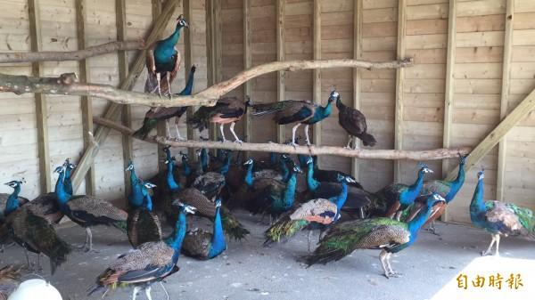 今天凌晨剛抵達新埔的日月潭孔雀園孔雀們,顯得適應良好。(記者黃美珠攝)