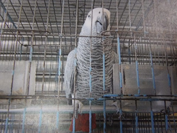 民眾報案鸚鵡太吵,警察上門查獲二級保育類非洲灰鸚鵡。(記者王善嬿翻攝)