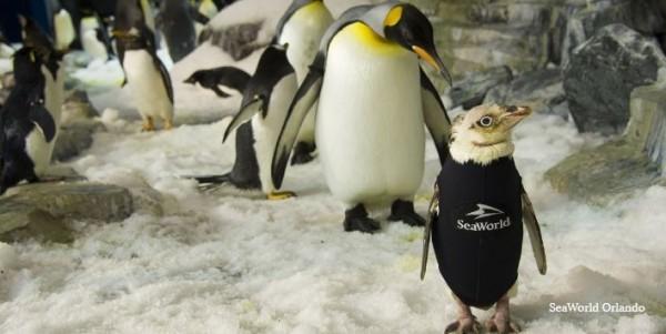 美國奧蘭多海洋世界工作人員特地幫一隻脫毛的小企鵝製作保暖外衣。(圖擷取自《Seeker》)