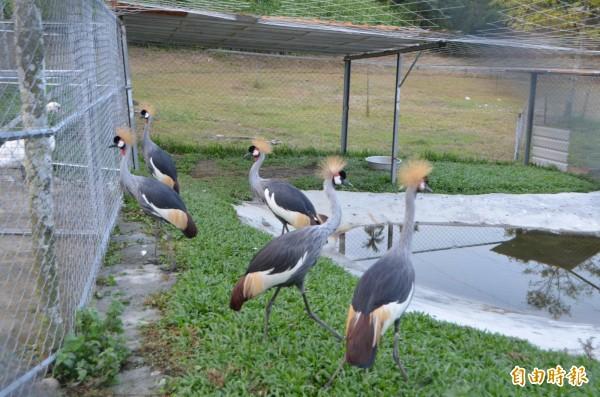 草屯富寮山區鳥園內的黑冠鶴,雄糾糾氣昂昂。(記者陳鳳麗攝)