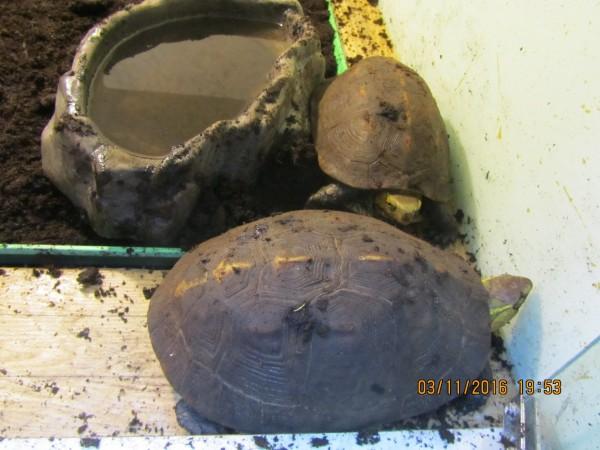 齊柏林家中的食蛇龜。(動保處提供)