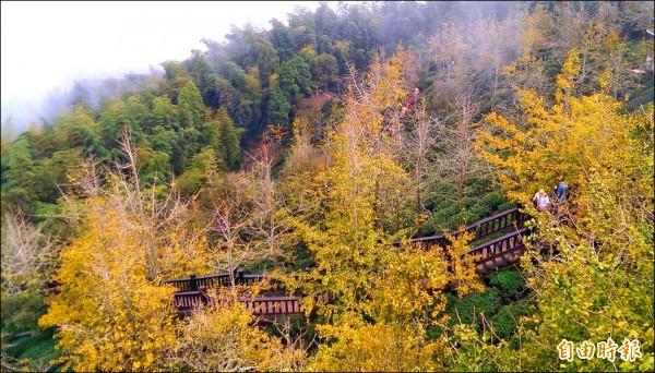 時序入秋,鹿谷大崙山銀杏林脫去翠綠夏裝,呈現一片金黃美觀,美不勝收。 (記者謝介裕攝)