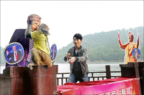 美國大選選情白熱化,中國湖南長沙石燕湖生態公園三日舉行「猴哥」預測白宮新主人的活動,象徵川普(左)和希拉蕊的硬紙板圖像分立兩側,身穿寫著「預測帝」黃色T恤的猴兒,最後吻了川普的圖像,祝賀其當選美國總統。 (法新社)
