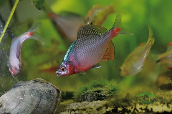 稀有魚類高體鰟鮍。(記者陳文嬋翻攝)