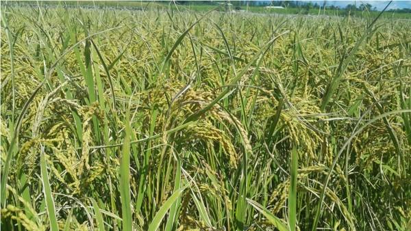 施用炭化稻殼的示範區水稻生育情形,分蘗數較多,紋枯病發病較少,白葉枯病較輕微。(記者黃明堂翻攝)