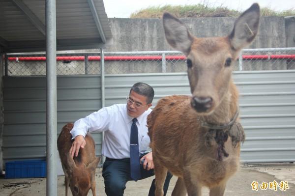 鹿港鎮長黃振彥要讓鹿港有鹿,小鹿鹿月底就要初登場。(記者劉曉欣攝)