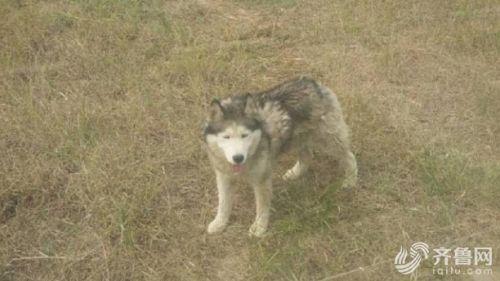 有中國網友逛山東德州動物園時,赫然看到豢養狼群的柵欄內,竟有一隻哈士奇混居其間。(圖擷自《齊魯網》)