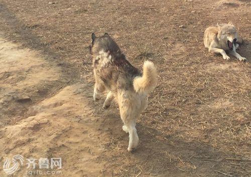 這隻哈士奇體型比狼大,毛比狼長,但前左腿已經受傷,無法著地,只能一瘸一拐行走。(圖擷自《齊魯網》)