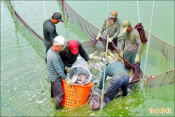「內憂外患」,台灣鯛跌破成本價,漁民叫苦連天。(記者蔡宗勳攝)