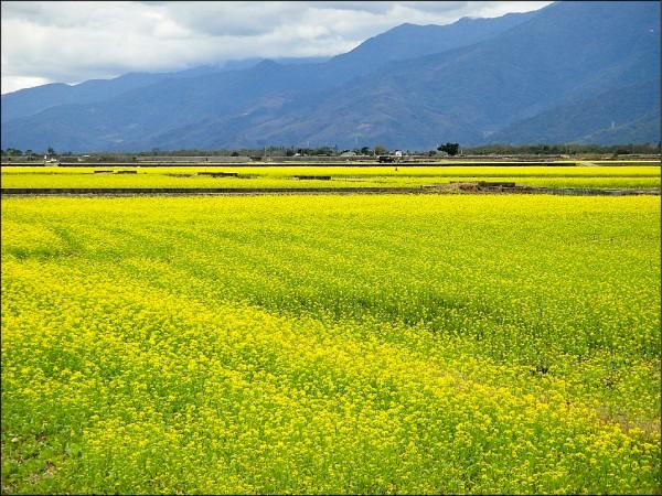 行政院農業委員會農糧署鼓勵農民利用二期稻作收割後的冬季休閒期,種植綠肥作物,營造花東縱谷上千公頃花海景象。 (農糧署東區分署提供)