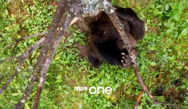 影片中大棕熊忘情的摩擦樹皮,搭配小野貓音樂「笑」果十足。(翻攝自BBC youtube)