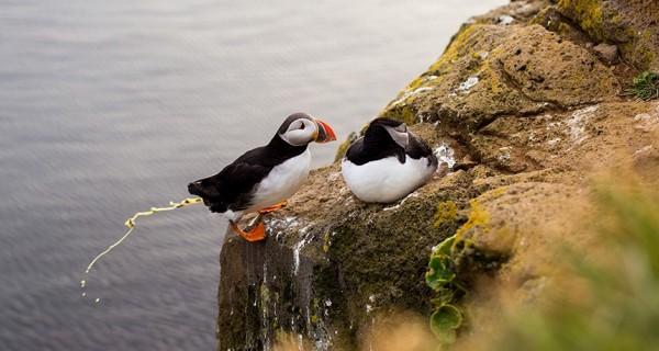 研究發現北極海鳥的糞便能讓空氣中的氮增加,影響雲系發展,而讓北極溫度降低。(圖擷自ScienceNews)