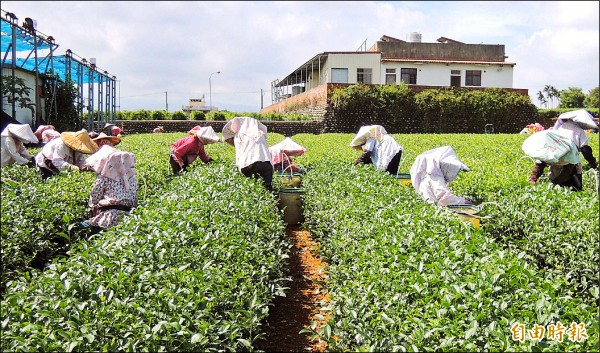 名間鄉茶園因遭鄰園污染問題嚴重,導致茶葉銷路受到衝擊。(記者謝介裕攝)