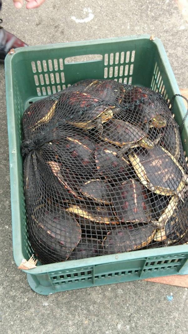 走私種類包括食蛇龜等保育類陸龜,差點成為中國人滿足口腹之慾的桌上佳餚。(記者劉禹慶翻攝)