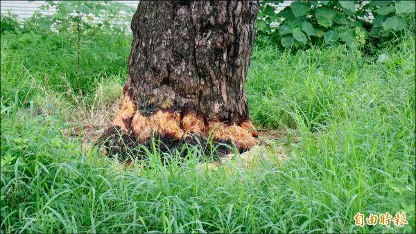 花蓮市民權四街一棵百年琉球松樹逐漸枯黃),遭民眾發現樹皮竟被環狀剝皮。(記者王錦義攝)