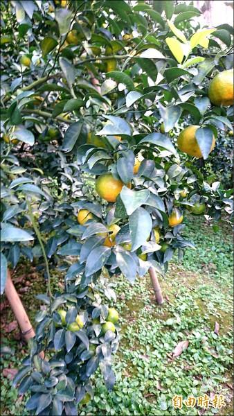 認購的砂糖橘在南投產區,下月即可採收。(記者陳冠備攝)