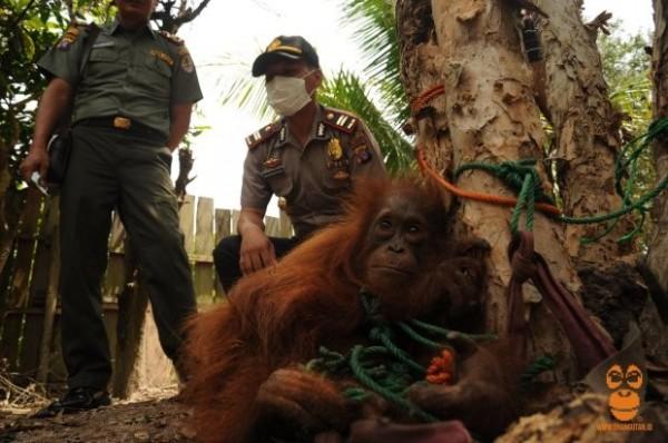 在印尼婆羅洲的這隻紅毛猩猩,被發現遭麻繩綁在樹上,當成寵物任人買賣。(翻攝自metro)