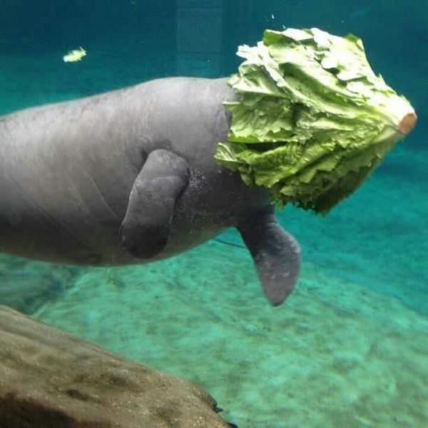 美國某間動物園的水族館在臉書PO出海牛埋頭狂吃萵苣的照片,笑翻許多網友並引發一陣瘋傳。這張圖在Imgur上也可看得到。(圖擷自Imgur)