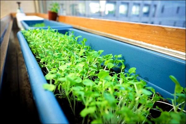 市長柯文哲說,市長室窗台都被他拿來種菜。(北市政府提供)