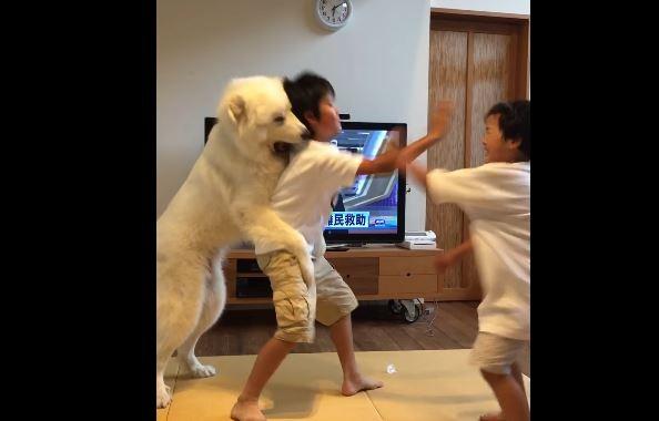 日本一對小兄弟打架,家中的寵物大白狗看不下去,不停用熊抱勸阻兄弟打架,可愛的舉動感動許多網友。(圖截自YouTube/河村健司)