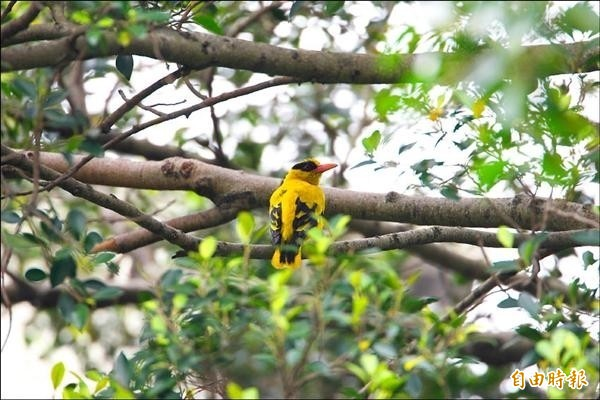 民國98年6月在天生國小附近樹林的黃鸝,彼時正值其築巢繁衍時候。(資料照,記者陳璟民攝)
