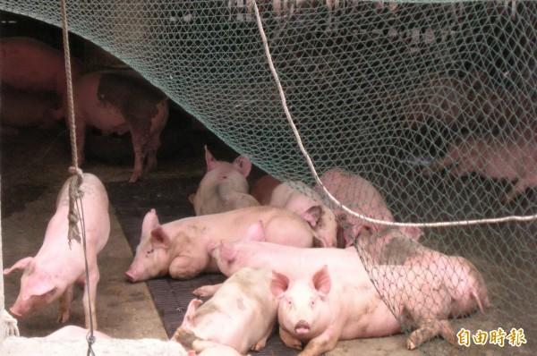 花蓮縣3家養豬場業者,日前成功通過「沼渣沼液畜牧糞尿作為肥分使用」計畫,成為東部地區首批將畜牧糞尿轉成農肥的養豬場業者。示意圖。(資料照,記者游太郎攝)