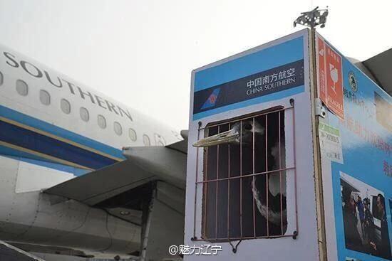 一隻傷痕累累的丹頂鶴於今年4月間在內蒙古被發現,經瀋陽當地的動保人員救助後,今上午搭上一班飛往南京的航班要與其他同伴「會合」。(圖擷自微博)