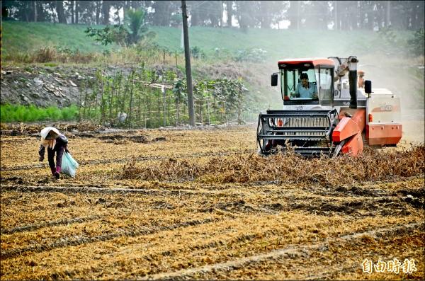 萬丹鄉紅豆產量全國之冠。(記者葉永騫攝)