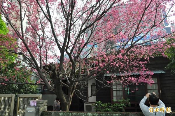 中壢最美的街角,櫻花樹、日治警察宿舍都要留下來。(記者李容萍攝)