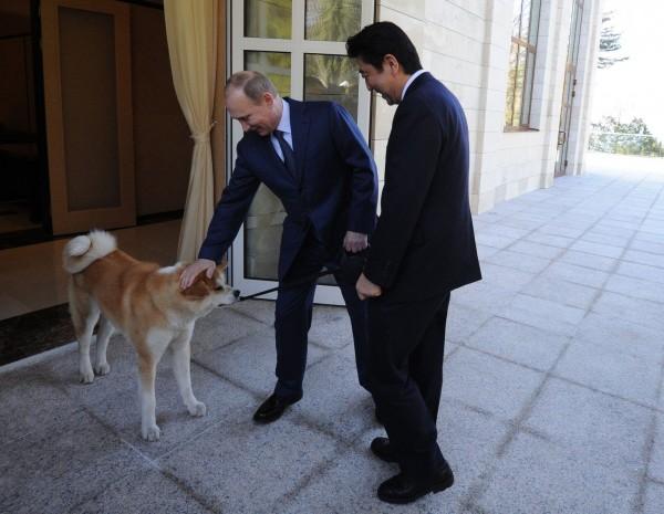日本有意在15日的日俄元首峰會上,贈送給愛狗聞名的俄羅斯總統普廷一隻公秋田犬。圖為2012年日本為感謝俄國在311地震上的援助,贈送的母秋田犬「夢」。(法新社)