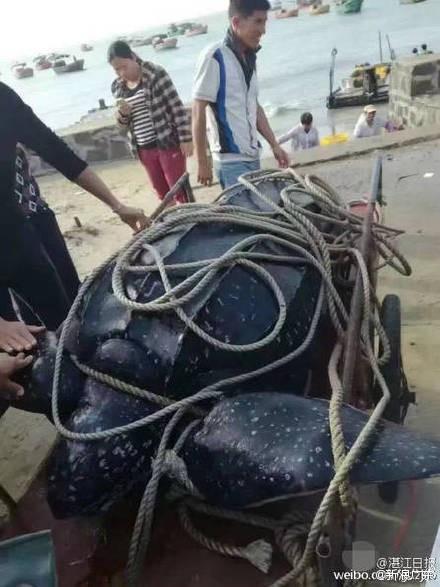 這隻棱皮龜重達208公斤,牠被綁在木板上,10多人才拉得動。(圖擷取自微博)