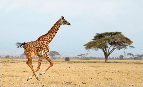 1隻長頸鹿在肯亞安博塞利國家公園(Amboseli National Park)裡奔跑。(路透檔案照)